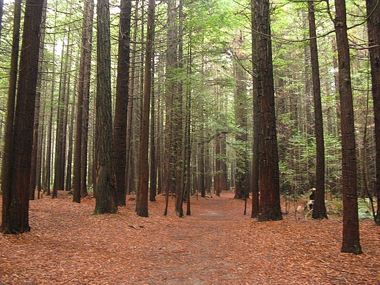 The-Redwoods-Forest